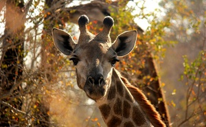 4 Night Grand Kruger Safari Experience