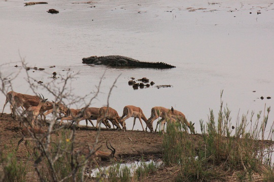 Antelopes and crocodiles at water hole