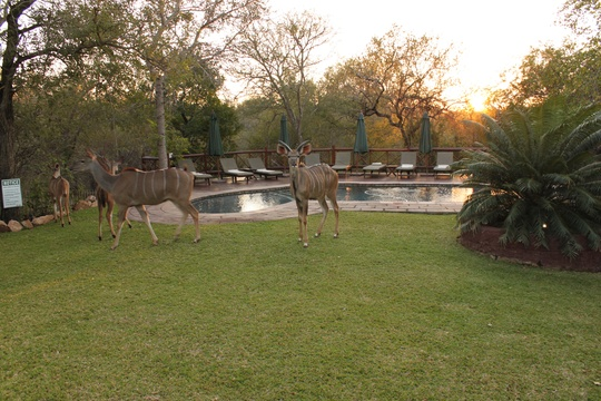 Antelope Grazing By Swimming Pool