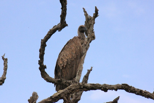 Vulture in dead tree